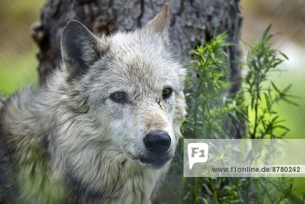 Vereinigte Staaten von Amerika USA Grauwolf Canis lupus pambasileus Wolf Canis lupus Amerika Tier