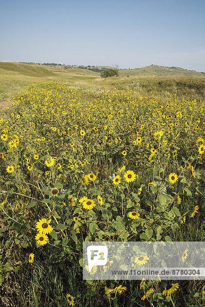 Vereinigte Staaten von Amerika  USA  Nationalpark  Amerika  Blume  gelb  Feld  Gänseblümchen  Bellis perennis  South Dakota