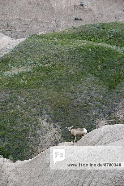 Vereinigte Staaten von Amerika  USA  Dickhornschaf  Ovis canadensis  Nationalpark  Felsbrocken  Amerika  Steppe  South Dakota