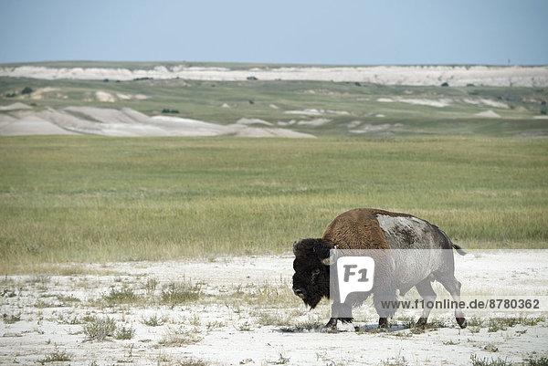 Vereinigte Staaten von Amerika  USA  Nationalpark  Amerika  Steppe  Büffel  Amerikanischer Bison  Bison  Prärie  South Dakota