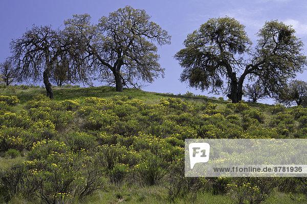 Vereinigte Staaten von Amerika  USA  Hügel  Desorientiert  Wildblume  Eiche  Kalifornien