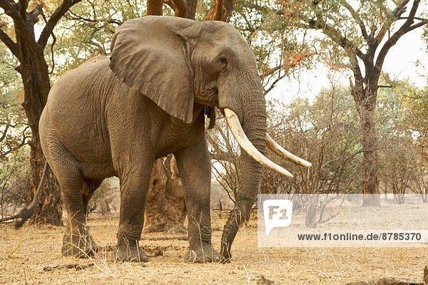 Afrikanischer Elefant - Loxodonta africana - reifer Stier