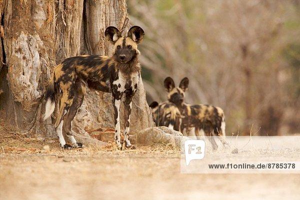 Wildhund - Lycaon pictus