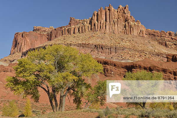 Vereinigte Staaten von Amerika  USA  Nationalpark  Felsbrocken  Amerika  Palast  Schloß  Schlösser  Baum  Landschaft  niemand  Wüste  Süden  Pappel  Capitol Reef Nationalpark  Colorado Plateau  Erosion  Laub  Sandstein  Utah