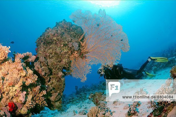 lila Westindische Inseln Afrika Ägypten Gorgonie Rotes Meer