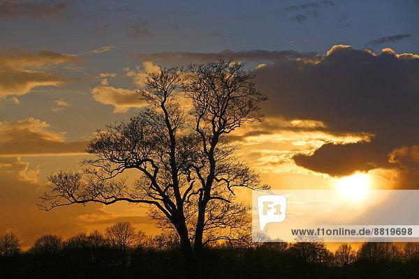 Baumsilhouette gegen Wolkenhimmel bei Sonnenuntergang  Naturschutzgebiet Oberalsterniederung  Tangstedt  Schleswig-Holstein  Deutschland