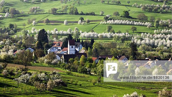 Ortsansicht  Kirschblüte  Obereggenen  Markgräflerland  Schwarzwald  Baden-Württemberg  Deutschland