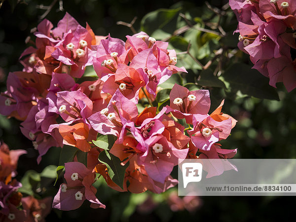 Mauritius  Blüten von Bougainvillea