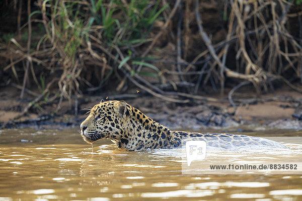 Südamerika  Brasilia  Mato Grosso do Sul  Pantanal  Cuiaba Fluss  Jaguar  Panthera onca  schwimmend