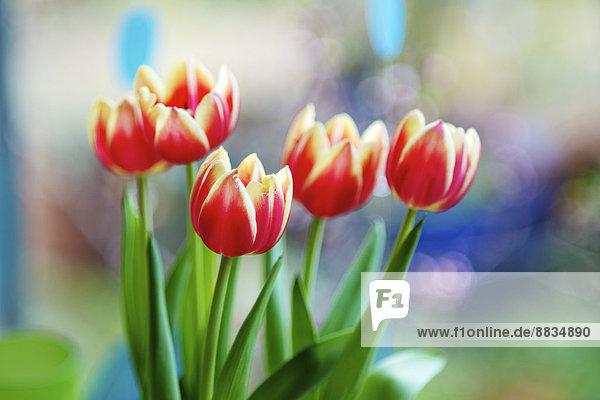 Apeldoorn Elite Tulpen  Tulipa Apeldoorn Elite Apeldoorn Elite Tulpen, Tulipa Apeldoorn Elite