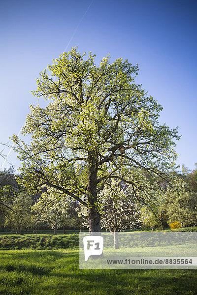 Deutschland  Baden-Württemberg  Tübingen  Wiese mit verstreuten Obstbäumen  Apfelbaum