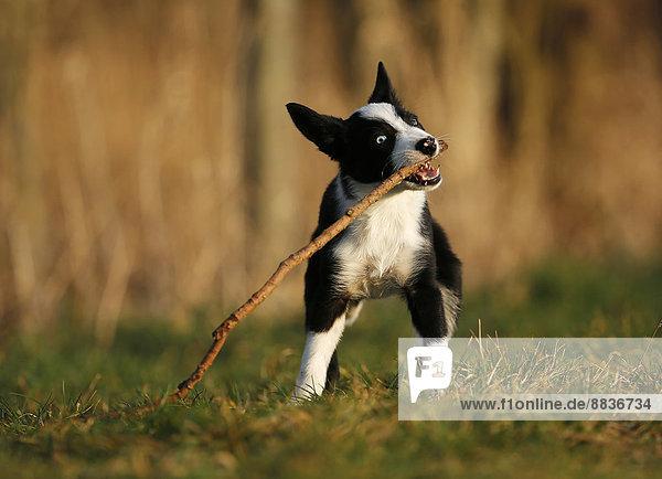 Border Collie Welpe beim Spielen mit einem Stock auf einer Wiese