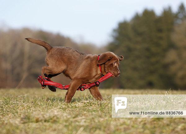 Porträt eines Labrador-Welpen mit rotem Hundegeschirr auf der Wiese