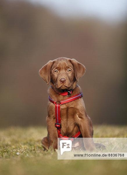 Porträt eines Labradorwelpen mit rotem Hundegeschirr auf einer Wiese sitzend