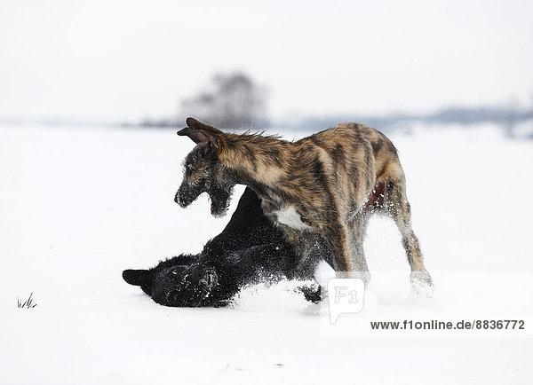 Irish Wolfhound Welpe und schwarzer Mischling (Canis lupus familiaris) spielen zusammen auf einer verschneiten Wiese.