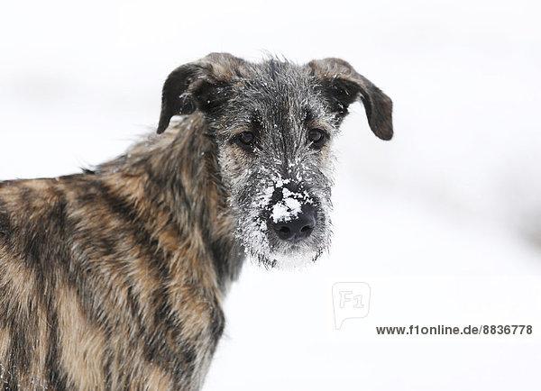 Porträt eines Irish Wolfhound Welpen mit Schnee an der Schnauze