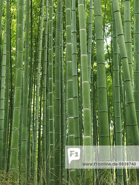Grüne Halme in einem Bambus-Wald  Arashiyama  Kyoto  Japan