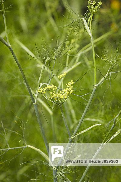 Blume  Gemüse  Wachstum  Garten  Fenchel