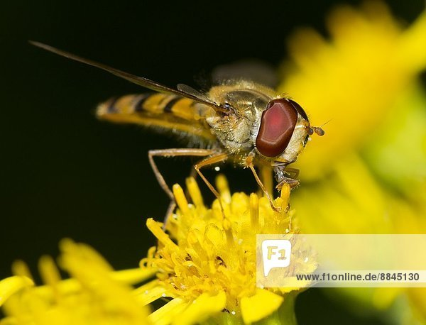 A hoverfly on a dandelion  Syrphidae