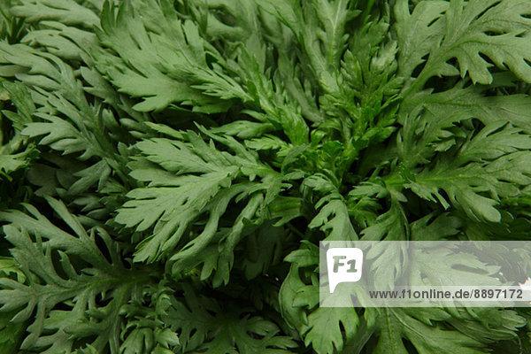 Chrysanthemum Greens