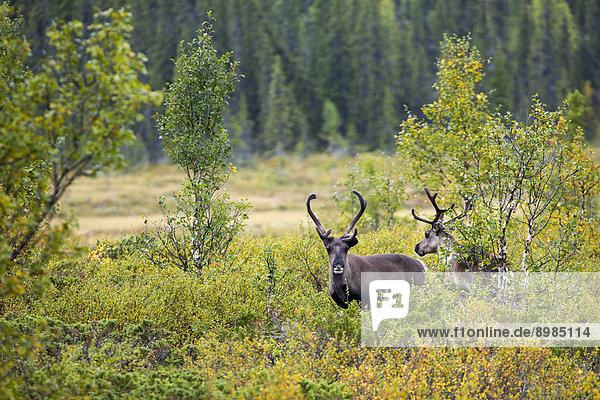 Rentiere  Nationalpark Sarek  Schweden  Europa