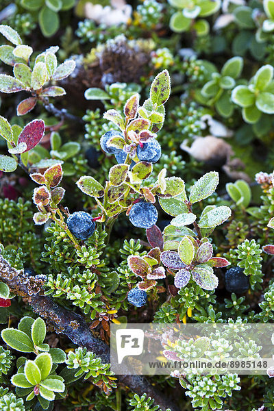 Pflanzen  Nationalpark Sarek  Schweden  Europa