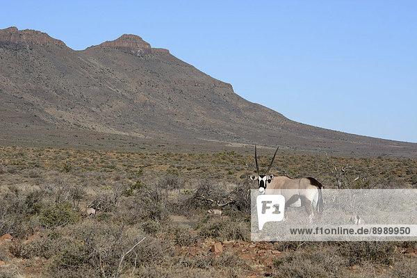 Spießbock (Oryx gazella)  Karoo Nature Reserve  Westkap  Südafrika
