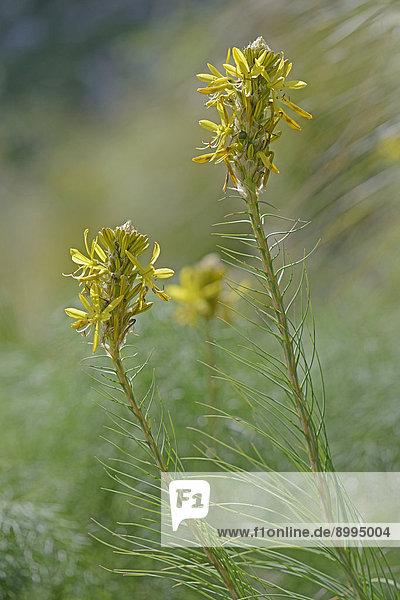 Junkerlilie (Asphodeline lutea)  Provinz Messina  Sizilien  Italien