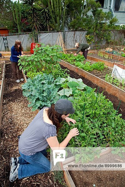 Garden members are starting to harvest their crops at The Venice Community Garden  California  USA