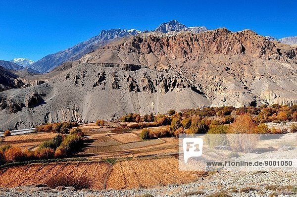 Barley cultivation in Mustang  Nepal.