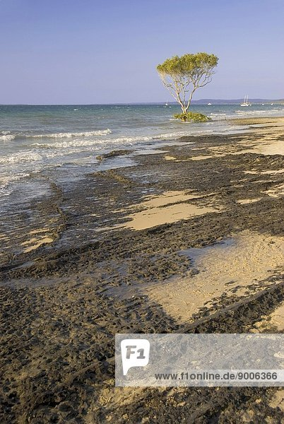 Grey mangroves on the western side of Fraser Island Fraser Island  Queensland  Australia