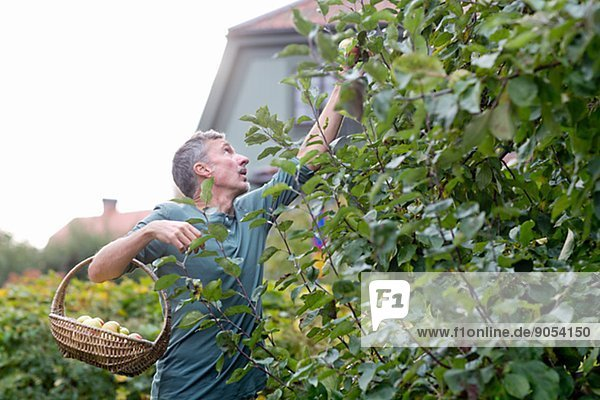 Man picking apples in garden  Stockholm  Sweden