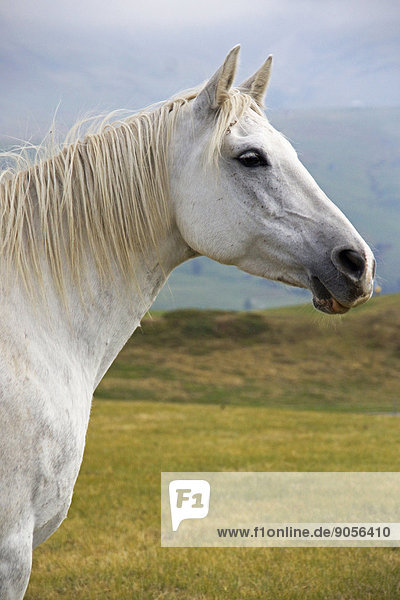 Gray horse on pasture