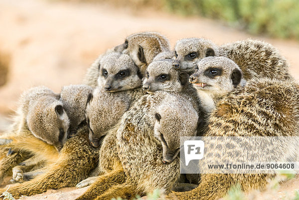 Erdmännchen (Suricata suricatta)  Kolonie in der Karoo-Halbwüste  Kleine Karoo  Provinz Westkap  Südafrika Erdmännchen (Suricata suricatta), Kolonie in der Karoo-Halbwüste, Kleine Karoo, Provinz Westkap, Südafrika