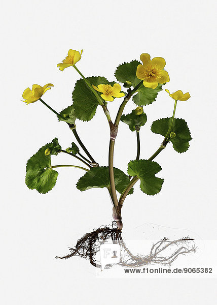 Sumpfdotterblume (Caltha palustris)  Illustration