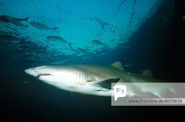 Grey nurse shark (CarchariasÊtaurus)  does not attack humans unless threatened  Sydney  New South Wales  Australia