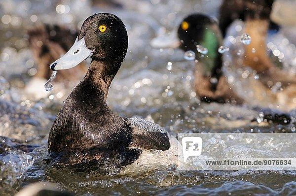 Lesser Scaup Ducks Aythya affinis  Choptank River  Chesapeake Bay  Cambridge  Maryland.