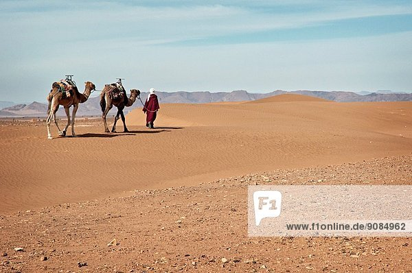 Berber man with camels walking on Tinfou dunes near Tamegrout  Zagora  Draa Valley  Morocco.