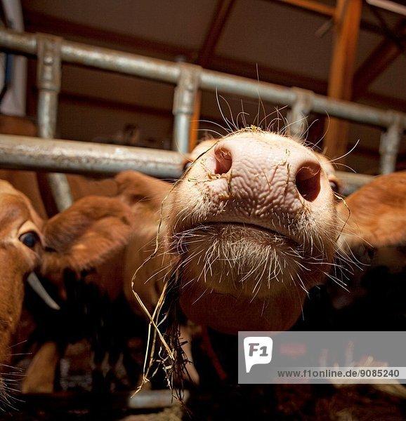 Dairy cow inside barn  Iceland.