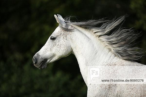 Deutschland  Baden-Württemberg  Arabisches Pferd  Equus ferus caballus  galoppierend