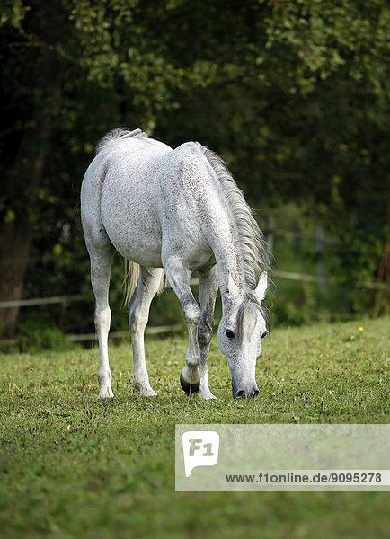 Deutschland  Baden-Württemberg  Arabisches Pferd  Equus ferus caballus