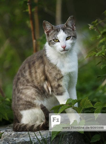 Deutschland  Baden-Württemberg  Grauweiße Katze  Felis silvestris catus  auf Stein sitzend