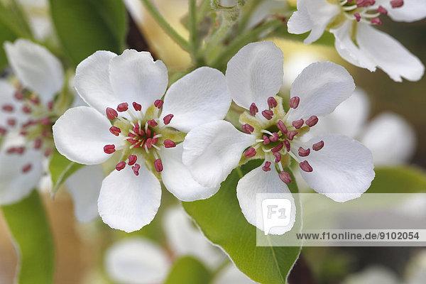 Williams Christ  Kultur-Birne (Pyrus communis)  Blüten  Nordrhein-Westfalen  Deutschland