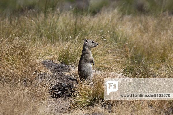 Belding-Ziesel (Spermophilus beldingi)  Yosemite-Nationalpark  Kalifornien  USA