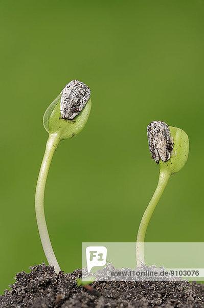 Sonnenblume (Helianthus annuus)  Keimlinge oder Sämlinge  Nordrhein-Westfalen  Deutschland