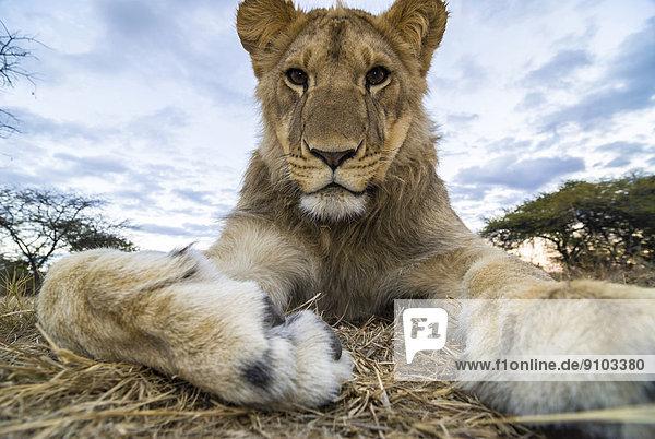 Lion (Panthera leo)  young animal  1 year  Antelope Park  near Gweru  Zimbabwe