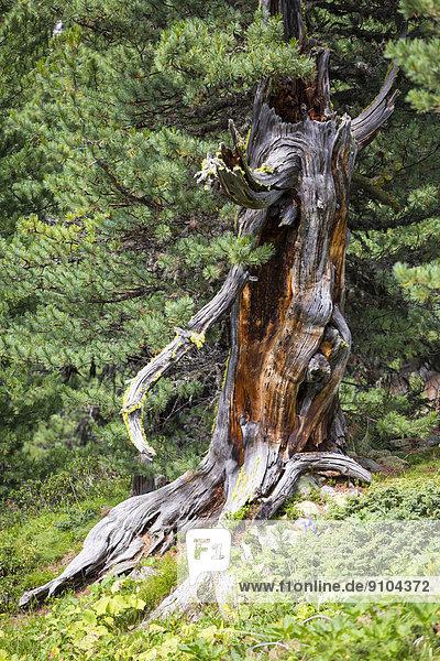 Zirbelkiefer (Pinus Cembra) im Arvenwald God Tamangur  Val S-charl  Schweizerischer Nationalpark  Graubünden  Schweiz Zirbelkiefer (Pinus Cembra) im Arvenwald God Tamangur, Val S-charl, Schweizerischer Nationalpark, Graubünden, Schweiz
