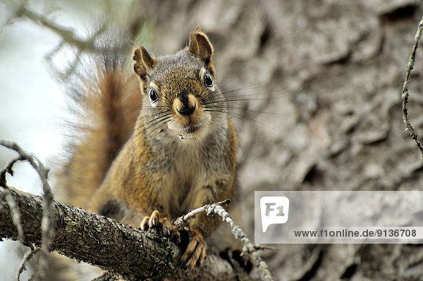 Hörnchen  Sciuridae  Fotografie  sehen  Baum  Querformat  Ast  rot  Fotograf