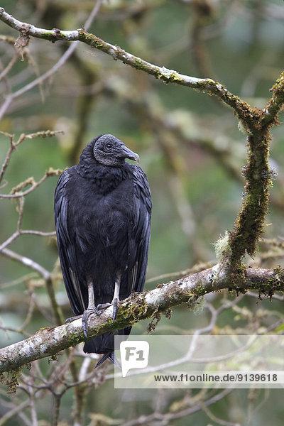 schwarz  Ast  hocken - Tier  Trauerschwan  Cygnus atratus  Geier