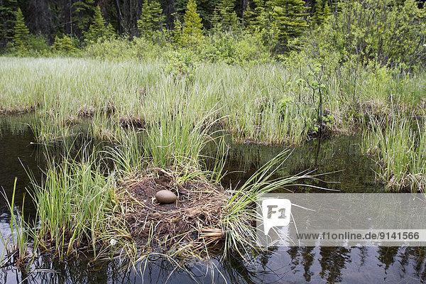 Seetaucher Wasser Unfall Fotograf 1 Jungvogel Eistaucher gavia immer Erwachsener links Sekunde